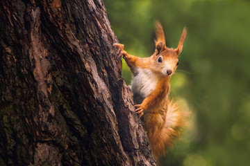 Photo sur Aluminium Squirrel Cute young red squirrel in a natural park in warm morning light. Very cute animal, interesting about its surroundings, colorful, looking funny. Jumping and climbing trees, running, eating.