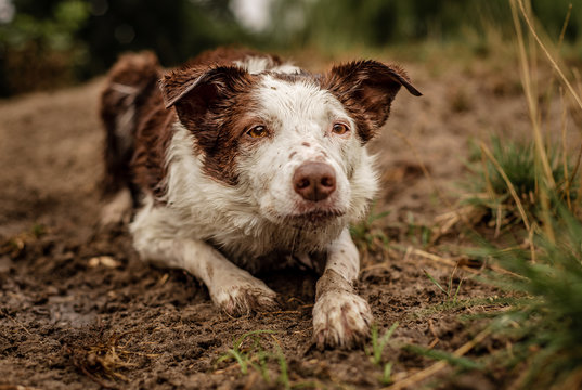 Muddy Border Collie dog laying in the dirt