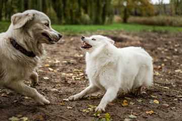 Samoyed and golden retriever dog playing outdoors, the samoyed dog with its teeth bared