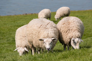 Flock of sheep grazing with water in the background