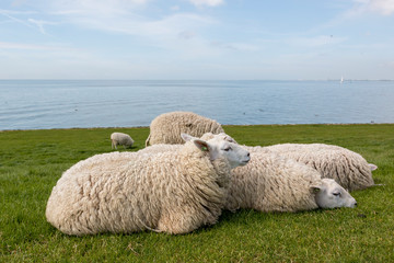 Sheep resting in the grass on the dyke next to the IJsselmeer