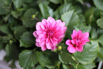 Close up of pink dahlia flowers in the bough-pot