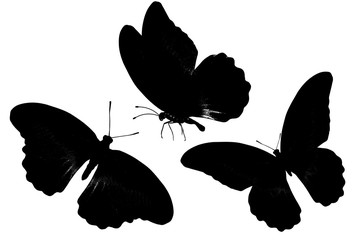 butterfly silhouette. isolated on white background