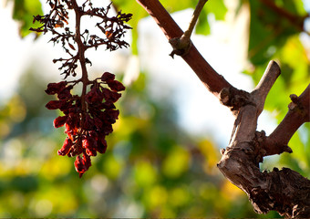 Remains of bunches of grapes after harvest. Raisins.
