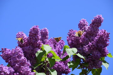 Photo sur Aluminium Lilac Butterfly Vanessa cardui on lilac flowers. Pollination blooming lilacs.