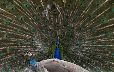 A peacock displays his plumage towards a peahen in a traditional courtship ritual at a park in London