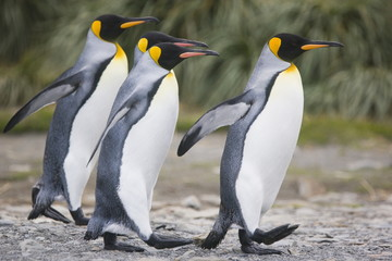 Fotobehang Pinguin King penguins walking on South Georgia Island