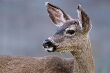 Printed roller blinds Deer California mule deer (Odocoileus hemionus californicus)