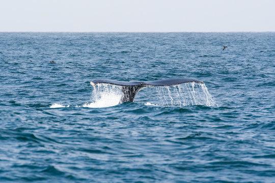 humpback whale (Megaptera novaeangliae) in the Monterey Bay, California