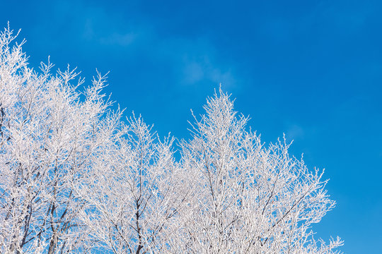 winter scenery with tree in hoarfrost.  bright sunny morning with clear blue sky background