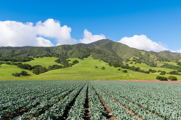 Agricultural scene of rows of broccoli plants pointing in perspective to beautiful green hills and mountains in Salinas Valley, CA, USA