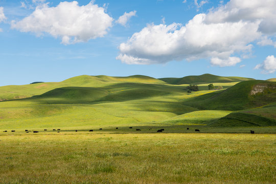 A herd of cattle grazing in sun-dappled lush green grasslands and rolling hills on a ranch in California under a beautiful blue sky with puffy white clouds