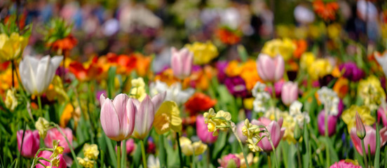 Brightly coloured tulips photographed in Lisse, South Holland, Netherlands.