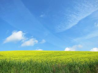 菜の花畑 青空 雲