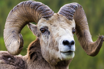 Bighorn sheep - (Ovis canadensis)  close up of horns and head and looking at the camera