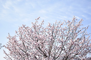 桜満開の日