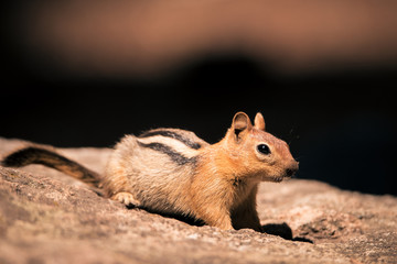California Chipmunk (Neotamias obscurus) standing on a rock