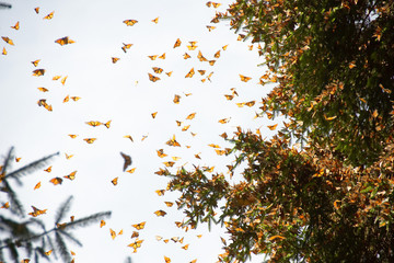 Monarch butterflies arriving at Michoacan, Mexico, after migrating from Canada.