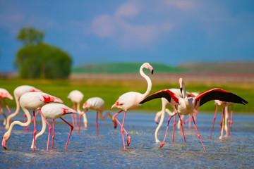 Flamingos. Nature background. Bird: Greater Flamingo. Phoenicopterus roseus.