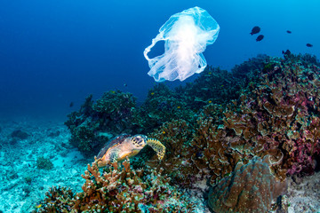 Plastic Pollution - a Hawksbill Sea Turtle feeding on a coral reef next to a discarded plastic bag