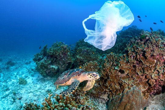 Hawksbill Turtle feeding on a coral reef while a discarded plastic bag drifts past