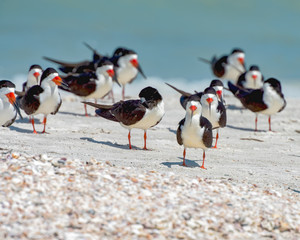 Bunch of black skimmers