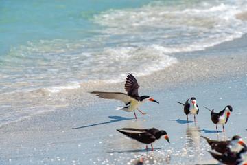 Black skimmer landing on the beach