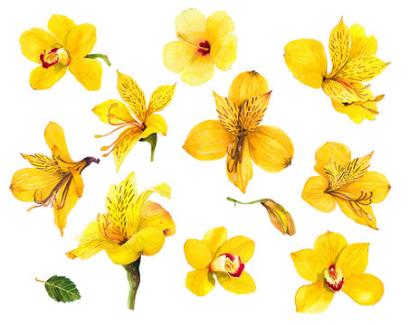 Tropical yellow flower Alstroemeria yellow orchid wattle magnolia hibiscus seamless water color on white