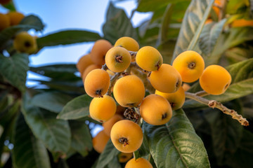 Loquat fruit-Mediterranean fruit very useful for Diets also called mushmula