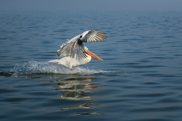Wall Mural -  Dalmatain Pelican landing on Lake Kerkini showing refection in the water.