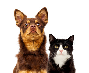 Fototapete - dog and cat portrait together on a white background