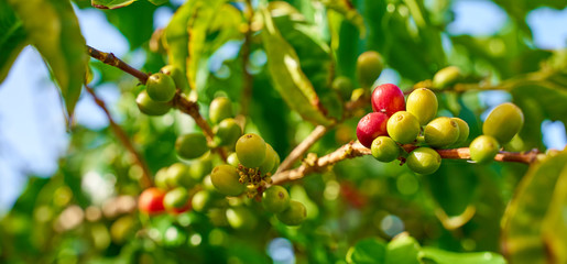"""Harvesting coffee plants on Gran Canary Island / The only european coffee plantation in the valley of """"Agaete"""""""