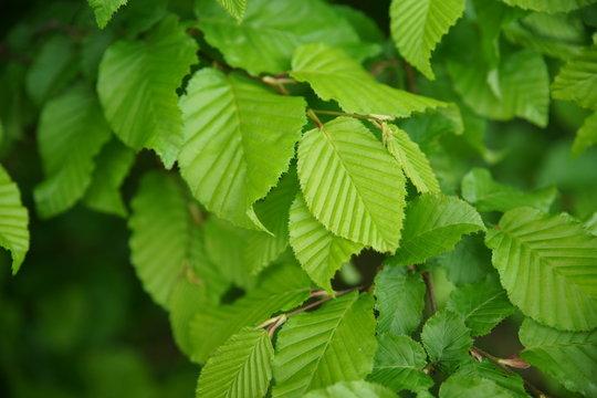 Hainbuche (Carpinus Betulus) Blätter - Birke - keine Buche