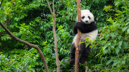 Spoed Fotobehang Panda Giant Panda bear baby cub sitting in tree in China