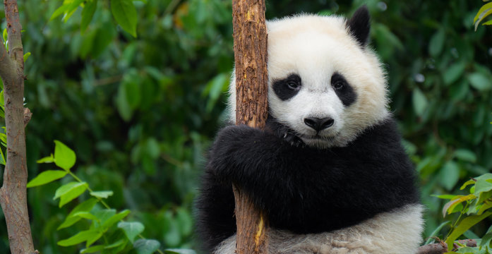 Giant Panda bear baby cub sitting in tree in China Close-up