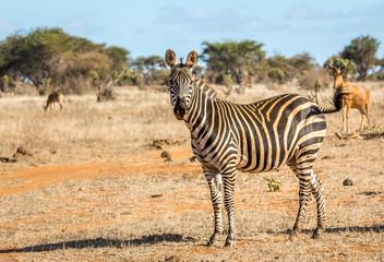 African zebra in Kenya