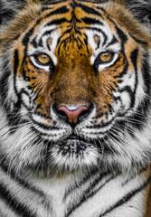 Photo sur Toile Tigre tiger with dramatic tone