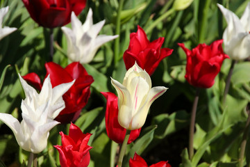 Red and white tulips in the sun