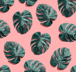 Wall Mural - Tropical plant Monstera leaves overhead view flat lay