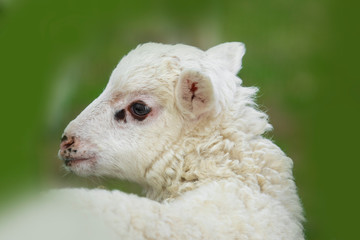 Fototapete - a cute lamb close up in the detail
