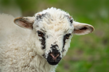 Fototapete - a cute lamb in the detail