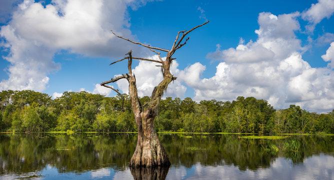 dead tree on bayou
