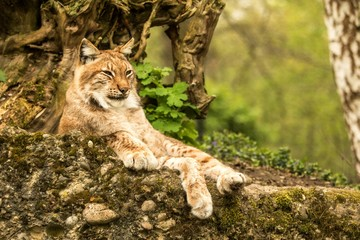 Close up portrait of European Lynx lying and resting in spring landscape in natural forest habitat, lives in forests, taiga, steppe and tundra, beautiful predator, wild cat animal in captivity, zoo Wall mural
