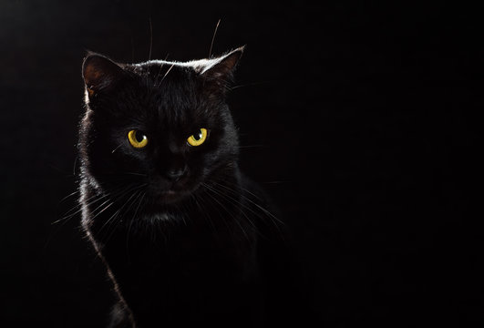 Portrait of a black cat in studio on black wall background