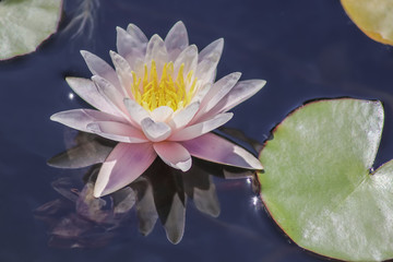 Poster Water lilies Pink water lily bloom close-up reflected in purple water - selective focus