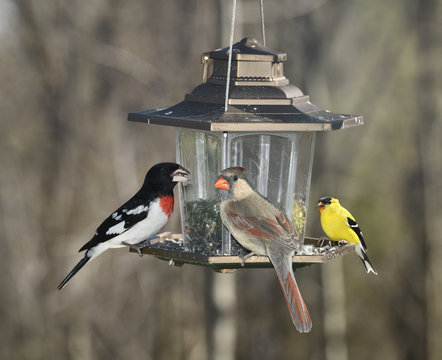 Male Rose Breasted Grosbeak Female Northern Cardinal and male American Goldfinch on a backyard bird feeder in Toronto