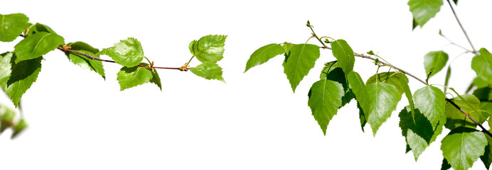 Young branches with green leaves isolated on white background. Wall mural