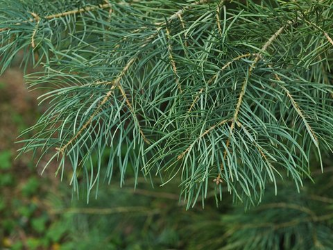 Spring branch tip of coniferous evergreen tree White Fir, latin name Abies Concolor