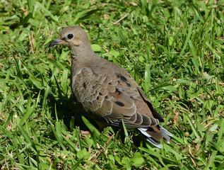 Fototapete - Common Ground-Dove