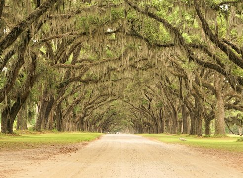A long tunnel roadway leading through the property of Wormsloe is line with ancient LIVE OAK TREES cover with Spanish moss, Live Oak Avenue and Entrance Gate , Spring in Savannah, Georgia USA.